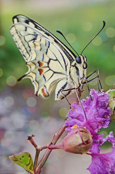 Papilio machaon by Stefania Loriga*