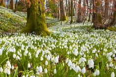 A place in the heart of Orastie Mountains in Hunedoara county, western Romania, turns into an epic sanctuary of…snowdrops every spring from early March to A Wonderful Places, Beautiful Places, Spring Wallpaper, Natural Park, Hungary, Romania, Vineyard, March, Mountains