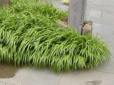 Hakonechloa macra (green Japanese Forest Grass)