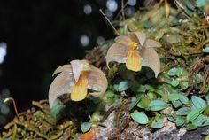 Angle-carrying Bulbophyllum (Bulbophyllum anguliferum)