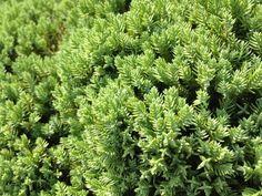 Check out Green Dwarf Pine - Texture by Riccardo Anelli on Creative Market ::: #photo #photos #photography #nature #texture #background #green #pine #needles #tree #dwarfpine #flowering #blooming #garden #summer #sun #blur #leaves #shadow #lightgreen #darkgreen #brown #black
