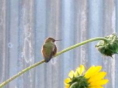 hummingbird on sunflower-habhero
