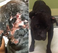 A dog had emergency surgery for injuries caused by someone using the poor animal as bait. The abuser is running free and likely torturing more innocent dogs. Demand that authorities find and take this person off the streets immediately.