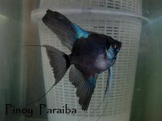 Pinoy Paraiba Skalar | Video: watch | pinoy angelfish kenneth s kennedy | Flickr