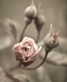 Inspiration couleur, Cassandre et Quentin, muscade, vieux rose, pink Pretty In Pink, Pink Flowers, Beautiful Flowers, Beautiful Pictures, Pastel Roses, Flowers Nature, Pink Roses, Gris Rose, Arte Floral