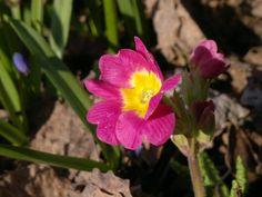 Esikko   Vesan viherpiperryskuvat – puutarha kukkii