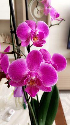 Minik mor orkide