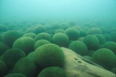 阿寒湖の毬藻