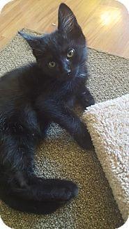 HILLSBORO, OR - Domestic Shorthair. Meet Kona, a kitten for adoption…