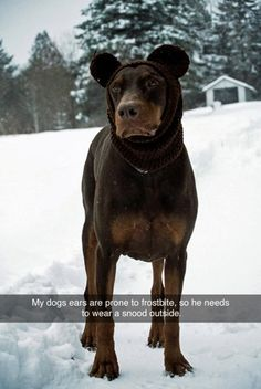 Funny pictures about Cutest Hat For Dogs. Oh, and cool pics about Cutest Hat For Dogs. Also, Cutest Hat For Dogs photos. Funny Animal Pictures, Cute Funny Animals, Funny Dogs, Fail Pictures, Funny Photos, Chinchilla, Doberman Love, Doberman Pinscher, Crazy Dog