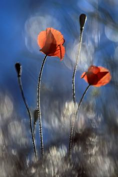 Poppies by the Side of the Road by Ursula Abresch on 500px
