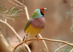 The Gouldian Finch, Erythrura gouldiae (or Chloebia gouldiae), also known as the Lady Gouldian Finch or Gould's Finch, is a colourful passerine bird endemic to Australia. There is strong evidence of a continuing decline, even at the best-known site near Katherine in the Northern Territory. It is bred in captivity, but is an endangered species, with less than 2,500 left in the wild. It is subject to a conservation program.