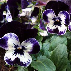 Beautiful flowers in my favorite color!