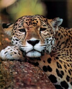 All Creatures Great and Small: Leopard