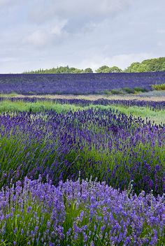 Snowshill lavender 2 by angus.crossley, via Flickr