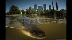 Esta enguia foi clicada nos jardins botânicos de Sydney, na Austrália, à sombra dos prédios da cidad... - Fornecido por BBC Brasil