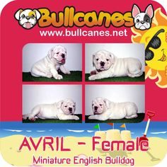 Bulldog Puppies For Sale, French Bulldog Puppies, Miniature English Bulldog, Miniatures, Snoopy, Dogs, Animals, Fictional Characters, Instagram