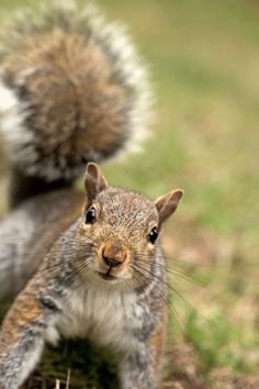 Eastern Gray Squirrel - we have quite a variety of colors in our yard, but I think they're mostly this guy. Even the black ones are just a variant of the gray squirrel.