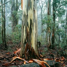 Shining Gum by Ern Mainka Shining Gum (Eucalyptus nitens), Snowy River NP, Victoria, Australia. © Ern Mainka Source by LizSteadman news melbourne Australian Tree Fern, Australian Art, Australia Funny, Australia Travel, Blue Mountains Australia, Australian Photography, Eucalyptus Tree, Unique Trees, Autumn Trees
