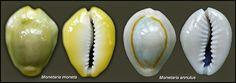 Numisarchives. China Numismatic: Las dos especies utilizadas como moneda, Monetaria moneta (L. 1758) y M. annulus (L. 1758) se diferencian bien en vivo, pero es más complicada su identificación en ejemplares antiguos completamente decolorados. La clasificación se complica al existir híbridos de ambas especies con caracteres intermedios.
