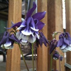 My dark purple columbine, that has been coming back for the last decade.  Wish I had kept the nametag.
