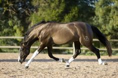 grullo - Pure Spanish Horse stallion Hatero de PB [Dun dilutes are very rare in PRE breed, and are thought to be caused by a different mutation than in most other breeds, as such horses haven't tested positive in present dun zigosity test, despite their looks.]