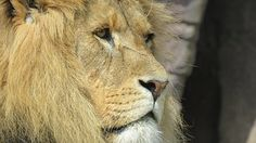 Eläinten, Leijona, Luontovalokuvassa