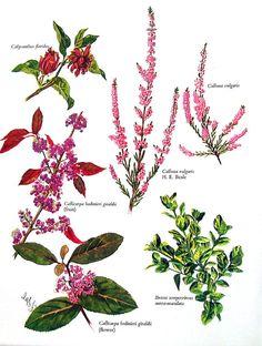Flower Print Genera Calycanthus Calluna by mysunshinevintage
