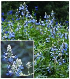 'Bog' Salvia - REPELS DEER!  Salvia ulginosa, full sun or partial shade, blooms June to Frost. 3-4'H x 3-4'W  Plant several around the yard and no more deer!