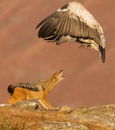 Wildlife Photography:  Great shot and is part of a sequence of shots of a fight between this  African Jackal and a vulture.