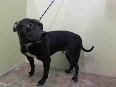 TO BE DESTROYED - 01/04/15 Manhattan Center - P  My name is DEISEL. My Animal ID # is A1024236. I am a male black and white american staff mix. The shelter thinks I am about 3 YEARS old.  I came in the shelter as a OWNER SUR on 12/29/2014 from NY 10460, owner surrender reason stated was PERS PROB.