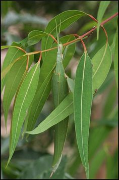 #Insect #Camouflage #eucalyptus #stickinsect
