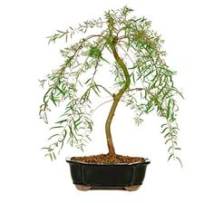 The Japanese Weeping Willow Bonsai Tree is a trending home décor and gift idea across the USA. It is an excellent addition to a garden, and adds a sense of Feng Shui to any environment or home office! Check it out!