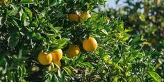 Πότε και πώς γίνεται το κλάδεμα της πορτοκαλιάς   Τα Μυστικά του Κήπου Stuffed Peppers, Fruit, Vegetables, Plants, Stuffed Pepper, Vegetable Recipes, Plant, Stuffed Sweet Peppers, Veggies