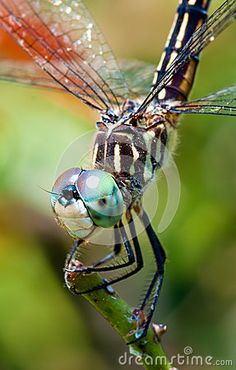 Dragonfly close up by Robhainer, via Dreamstime