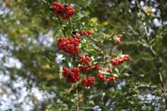 The Gardens, Red berries.
