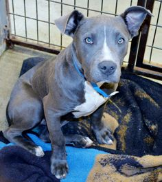 ***CODE RED! CRITICALLY URGENT! MUST EXIT THE SHELTER BY 3:30 PM ON FRIDAY, JUNE 13TH, OR HE WILL BE PUT TO SLEEP!***HE HAS KENNEL COUGH BUT THAT IS TREATABLE!! HE CAN BE RESCUED OR ADOPTED! Pitbull male Mix (young) - 41703 / Ban20852. 8 mos old, good w/other dogs! Sweet as can be! RAMONA HUMANE SOCIETY SAN JACINTO, CA. https://www.facebook.com/bella.moochie/photos/a.620263688059148.1073741827.619985608086956/651194154966101/?type=1theater