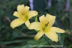 Yellow summer flower lily