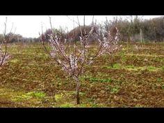 kajszi metszes, apricot pruning, potatura albicocco - YouTube