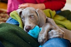 "Graelyn B. says: ""This is Seamus, the cutest Weimaraner puppy ever to walk the earth."""
