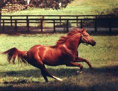 Secretariat, in retirement, gallops through a pasture in Kentucky