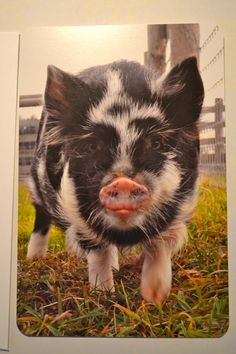 Kunekune pigs-we have two, but one more wouldn't hurt! They're the best!