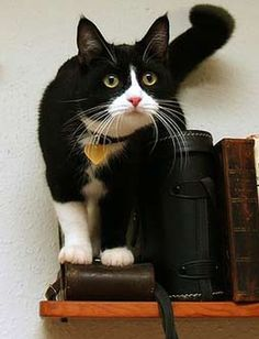 Beautiful Tuxedo Cat - similar to our Buddy only in a black suit instead of a gray suit.