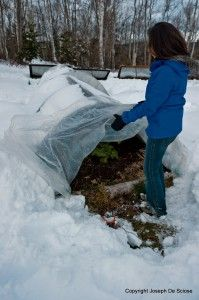 protecting vegetables in snow storm