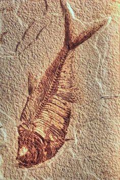 Pez fosil  hallado en Wyoming  Diplomystus dentatus (50-75 millones de años de antiguedad )