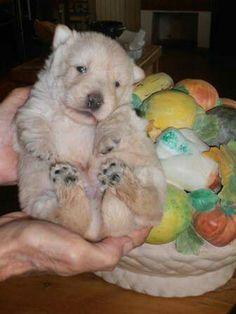 Wheaten scottish terrier puppy