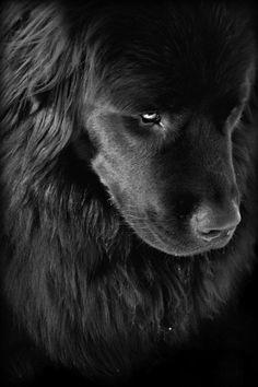 ~ Black Newfoundland ~
