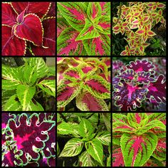 Coleus – Constant color & diverse shapes unbeatable in the garden or container
