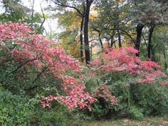 Aronia arbutifolia in Central Park Garden Shrubs, Central Park, Clouds, Mei, Plants, Trees, Google Search, Photos, Pictures