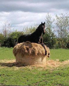 Funny Horse Memes, Funny Horses, Cute Horses, Pretty Horses, Horse Love, Beautiful Horses, Animals Beautiful, Beautiful Cats, Beautiful Pictures